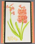 Sympathy, Hyacinth Apricot
